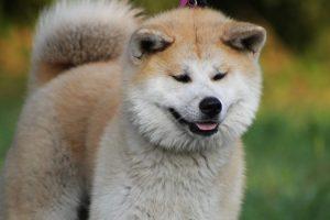 assurance chien akita inu